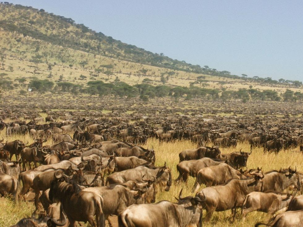 Wildebeest Migration in Serengeti