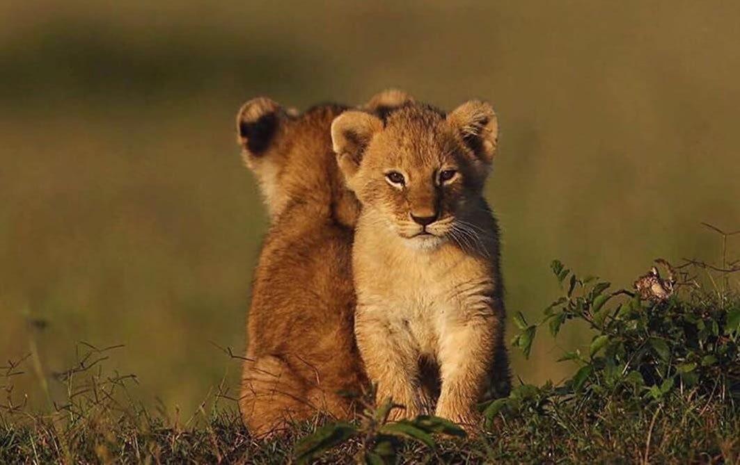 Lion Cubs at Masai Mara