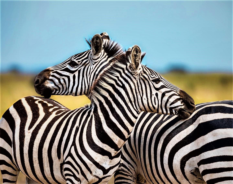 Zebras at Serengeti