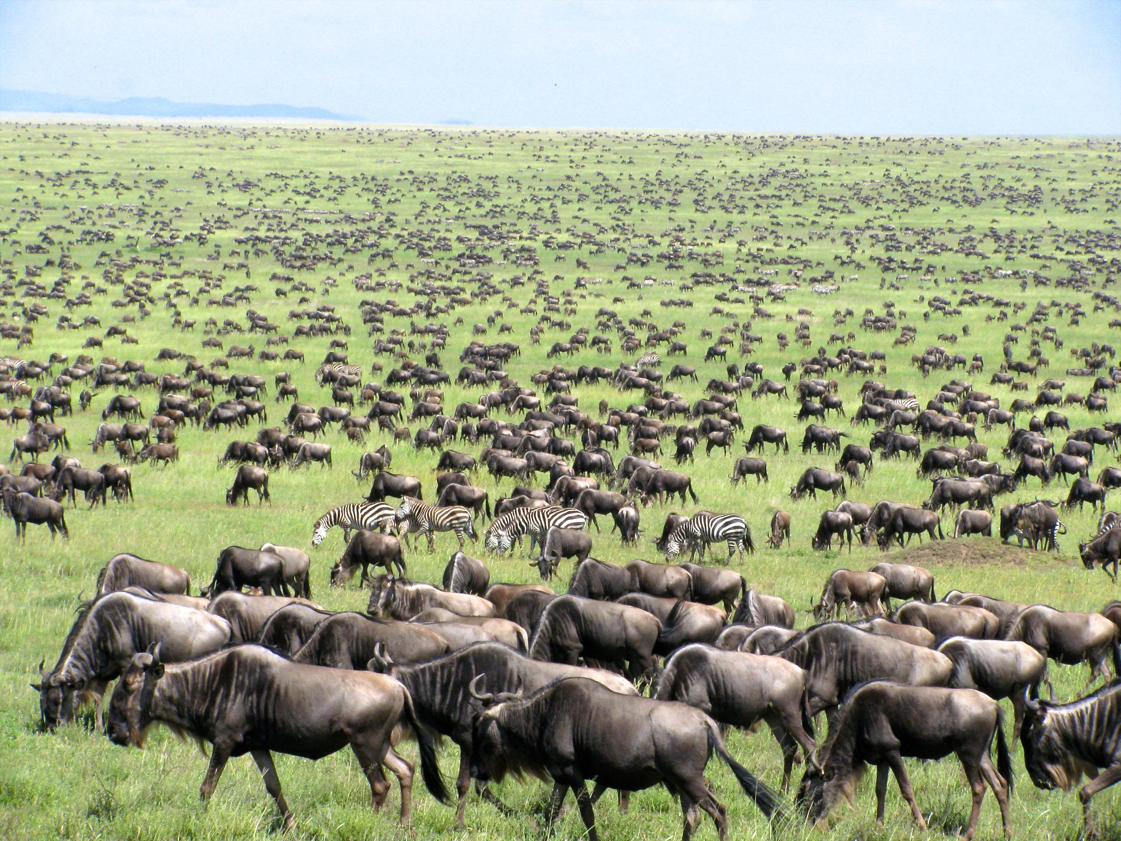 Wildbeest & Zebra Migration at Masai Mara