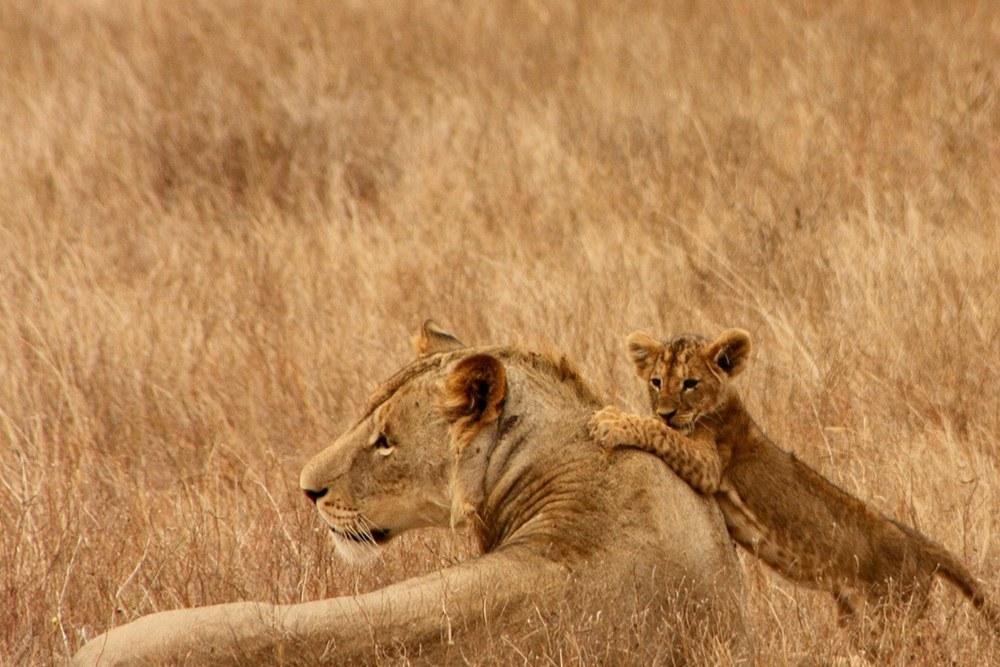 Lioness and her Cub at Masai Mara