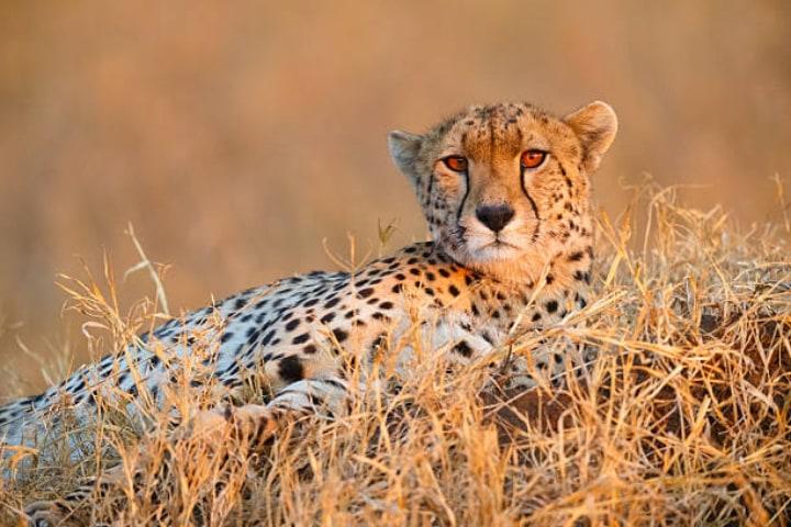 Majestic Cheetah at Masai Mara
