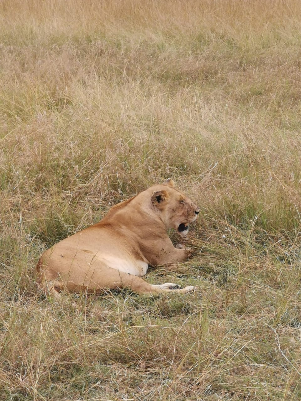 Spot lions in the wilderness
