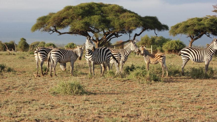 Zebras in the Wild