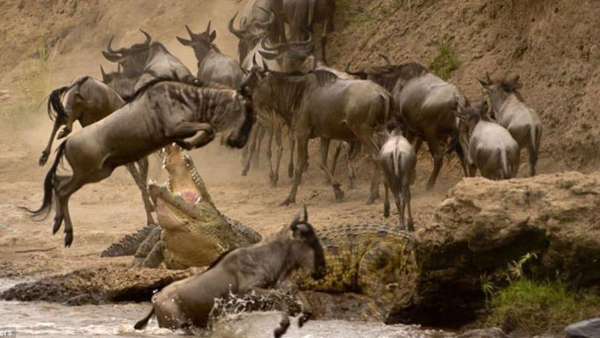 Wildebeests and Crocs
