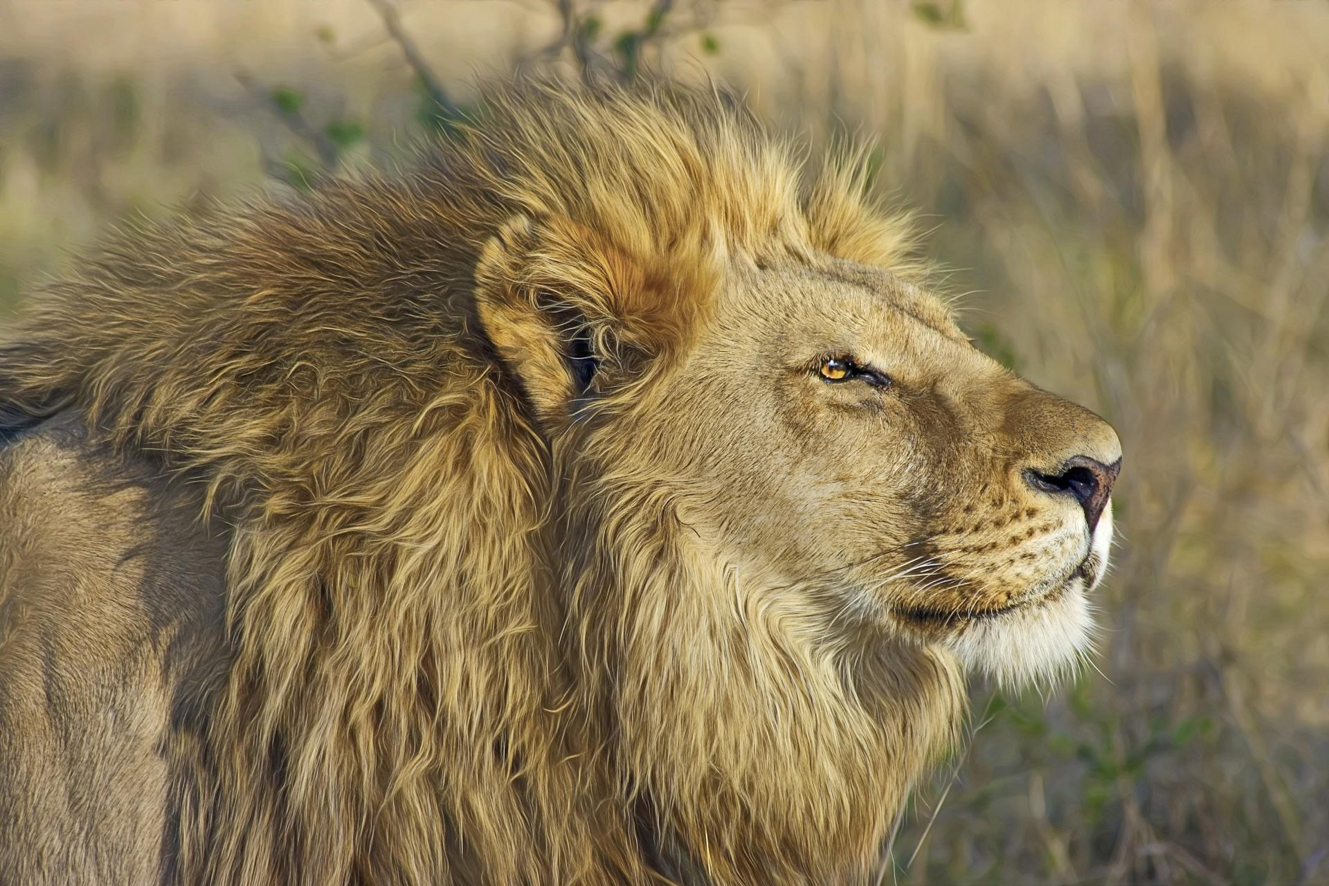 Lions at Masai Mara