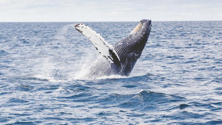 Spot Humpback Whales