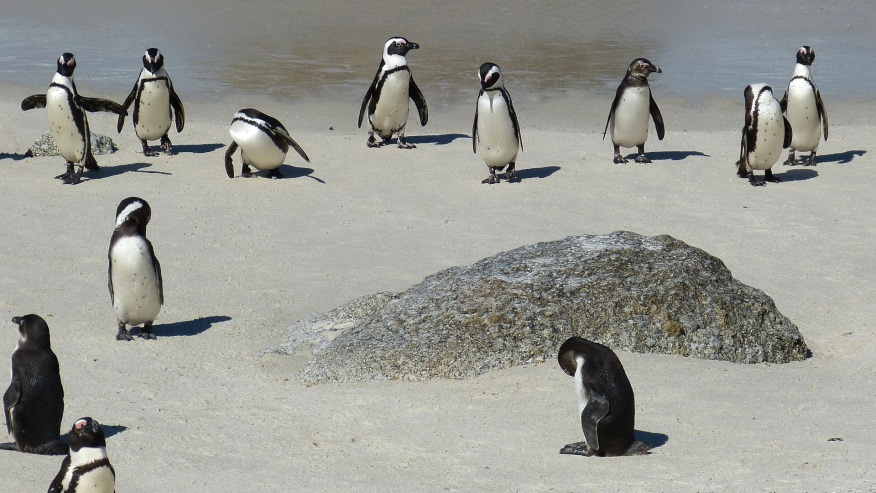 Spot the Penguin Colony at Boulders Bay