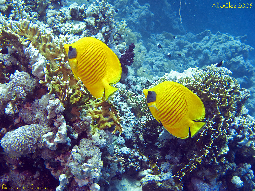 Butterfly Fish at Ras Mohamed National Park