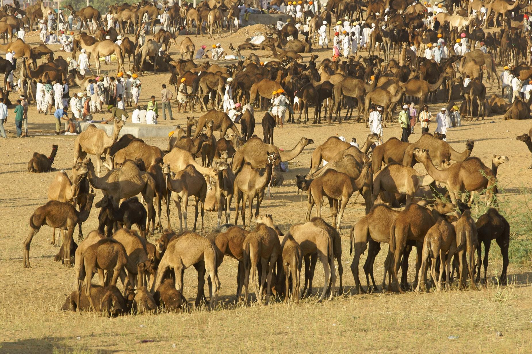 Camel Fair in Pushkar on November Month