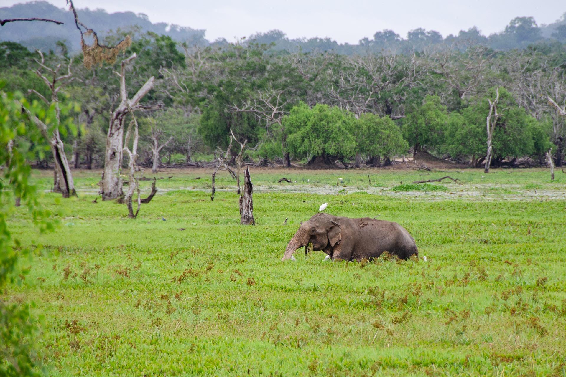 An Elephant at Yala National Park