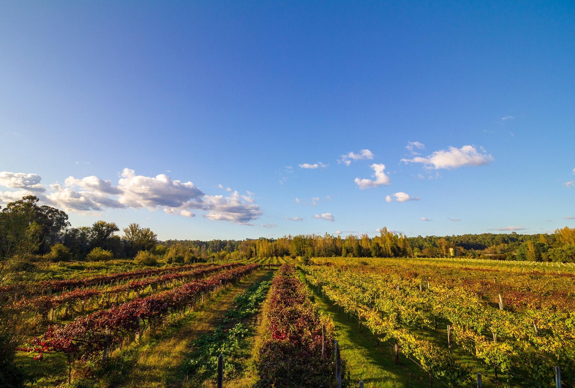 A Vineyard in Vinho Verde