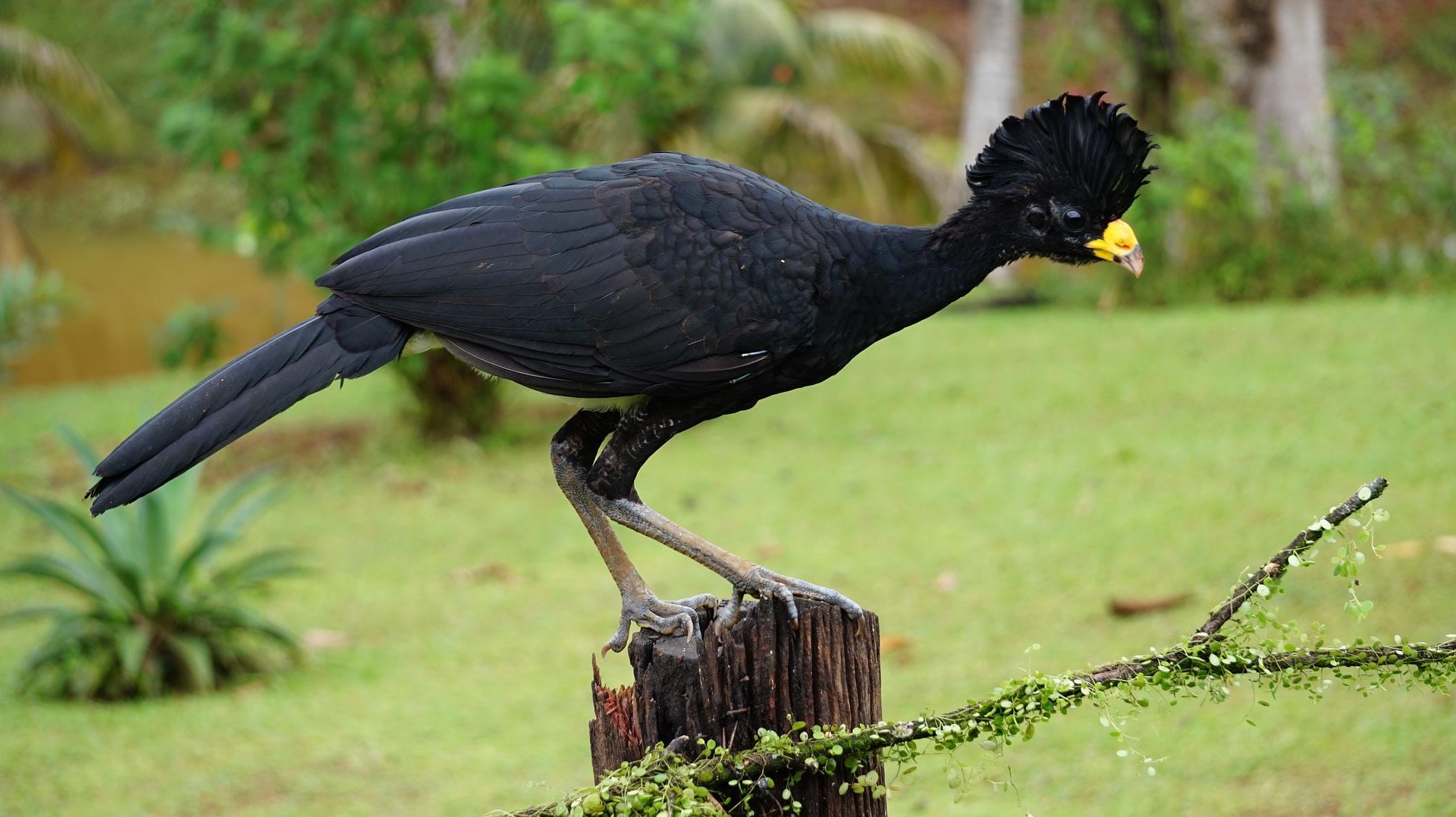 Spot Curassows as you Birdwatch