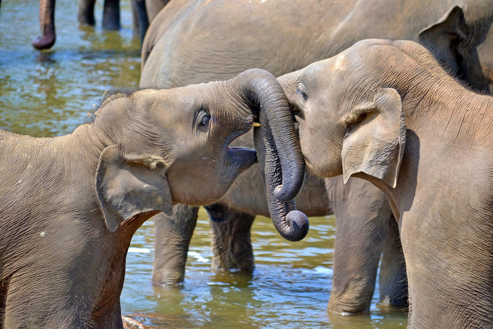 Visit the elephant orphanage in Pinnewela