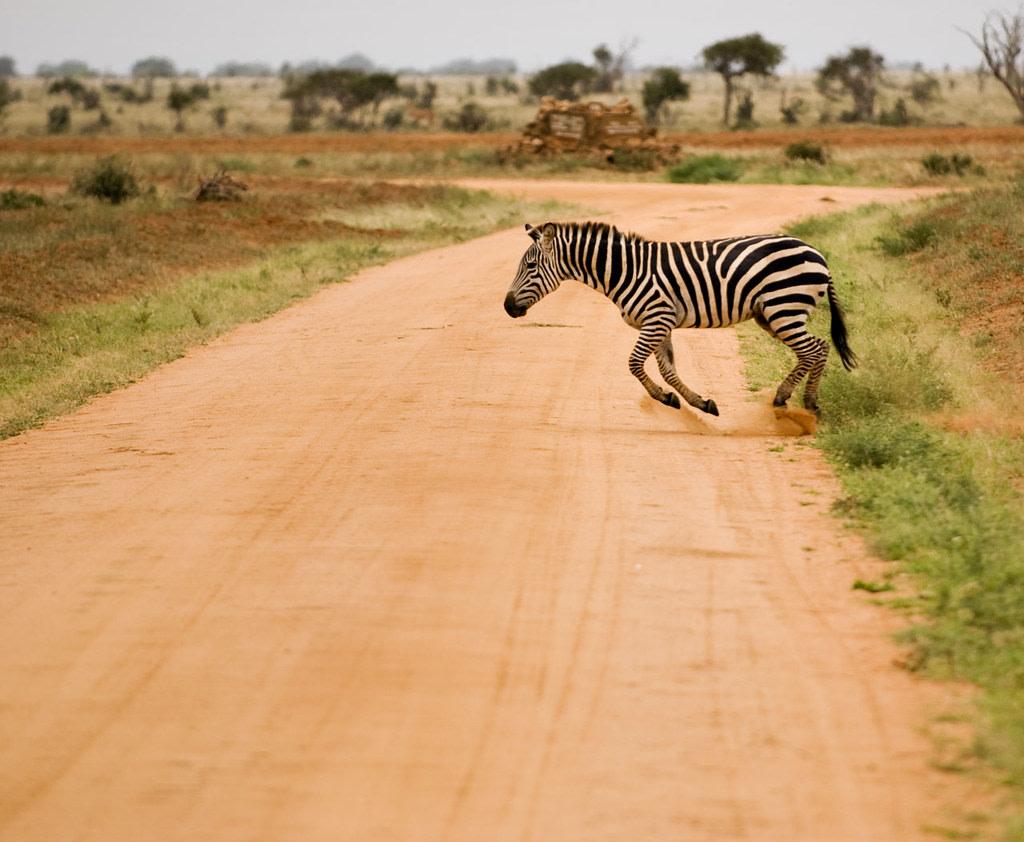 Zebra at Tsavo East National Park