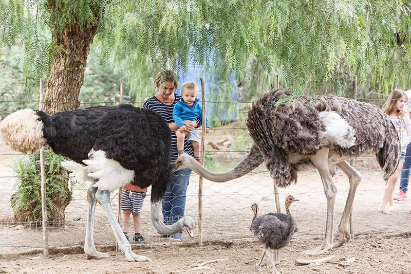 Ostrich farm in Oudtshoorn