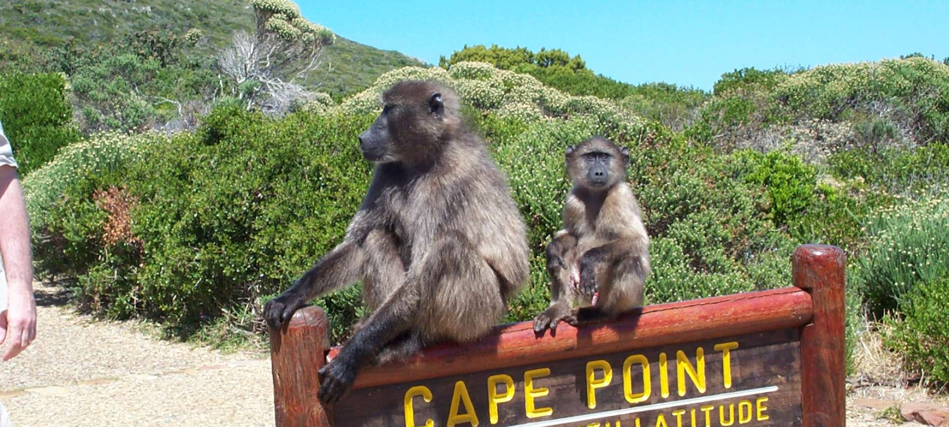 Spot Monkeys at the Cape Point, South Africa