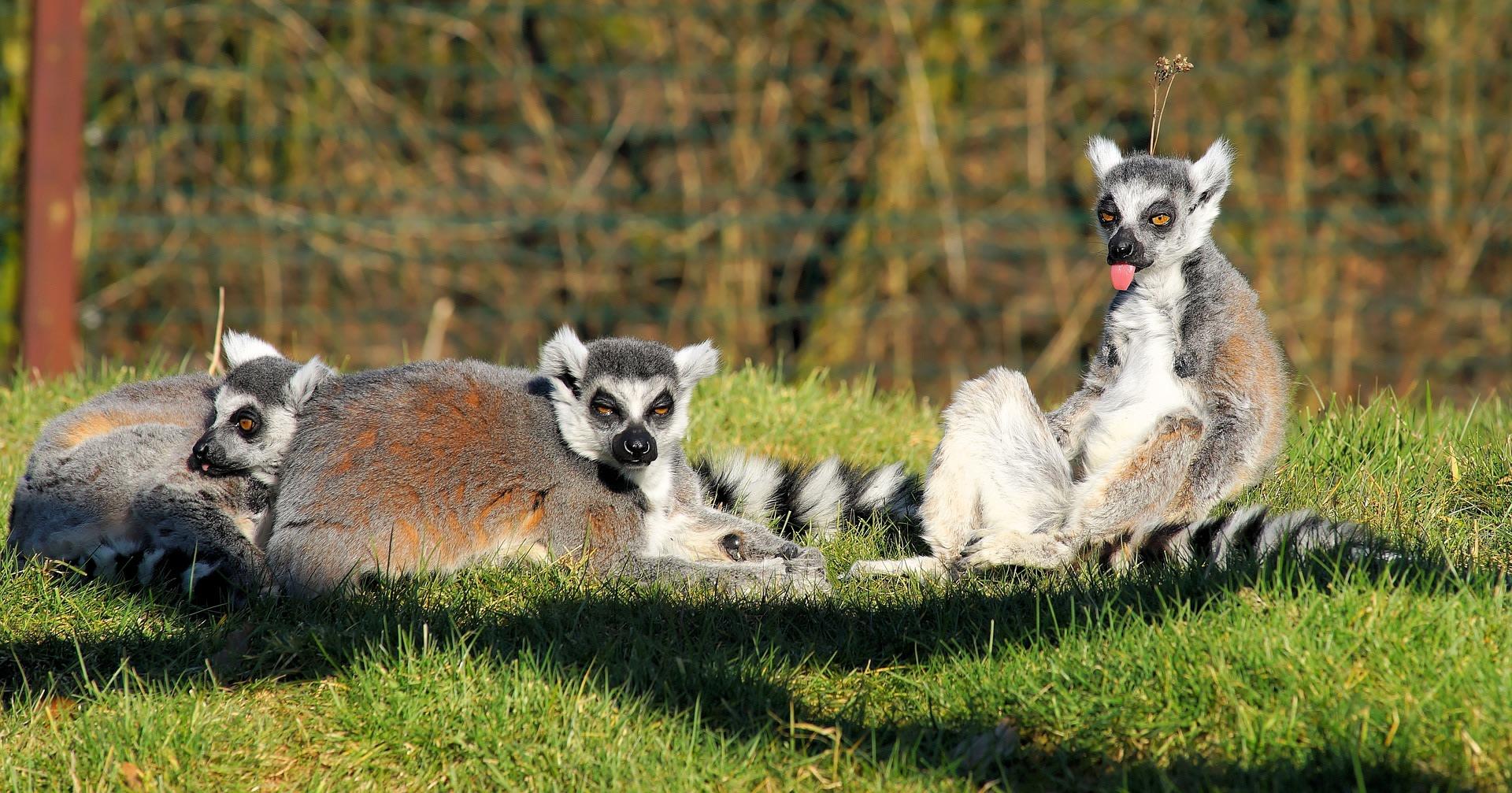 Spot Lemurs in the Wild