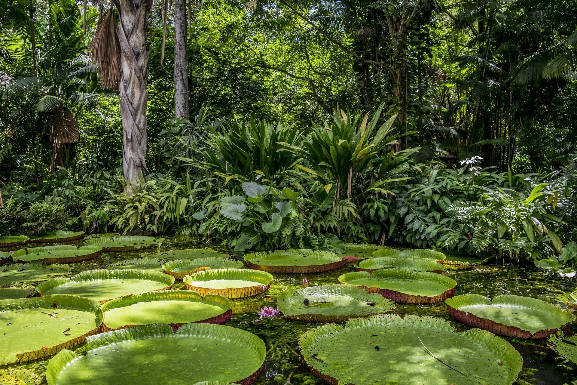 Lily pads in the Amazon Rainforest