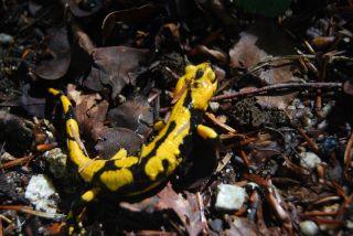 Ferdinandea (Stilo); Salamandra salamandra