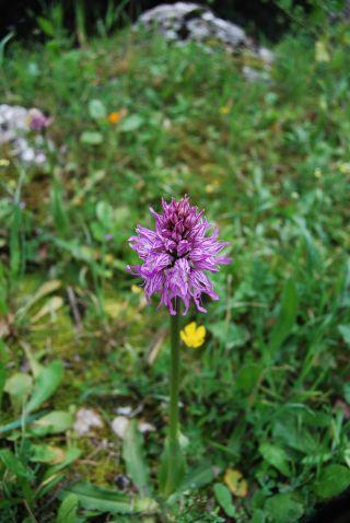Monte Stella (Pazzano); Orchis italica