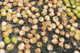 Bagni di Guida (Bivongi); Fichi messi ad essiccare