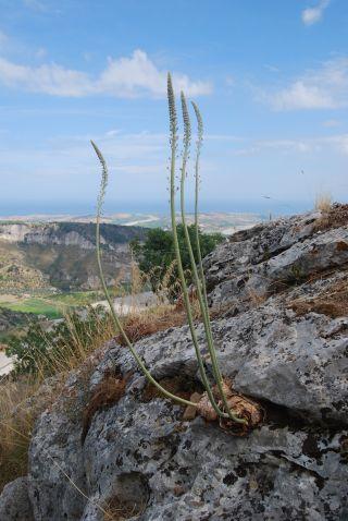Monte Consolino (Stilo); Asfodelo (Asphodelus macrocarpus)