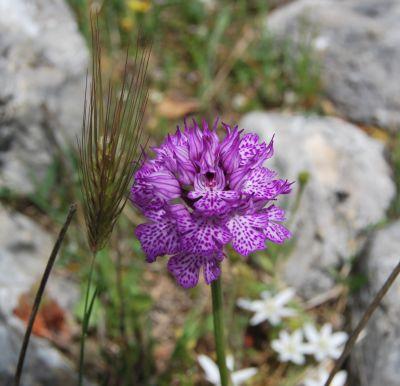 Piani di Rufo (Placanica); Orchis tridentata