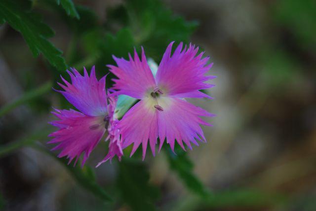 Marmarico (Bivongi); Dianthus rupicola.  XI Marmarico Day e XII Giornata del Creato