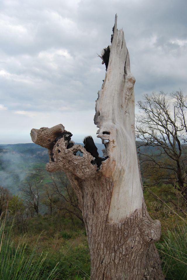 Monte Stella (Pazzano); Resti di una quercia distrutta da un incendio