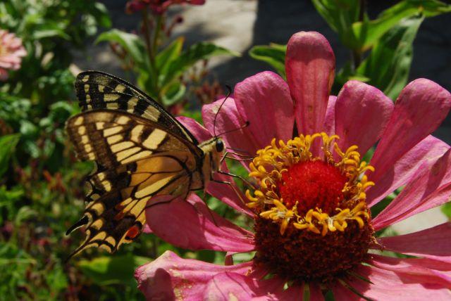 Bagni di Guida (Bivongi); Papilio machaon