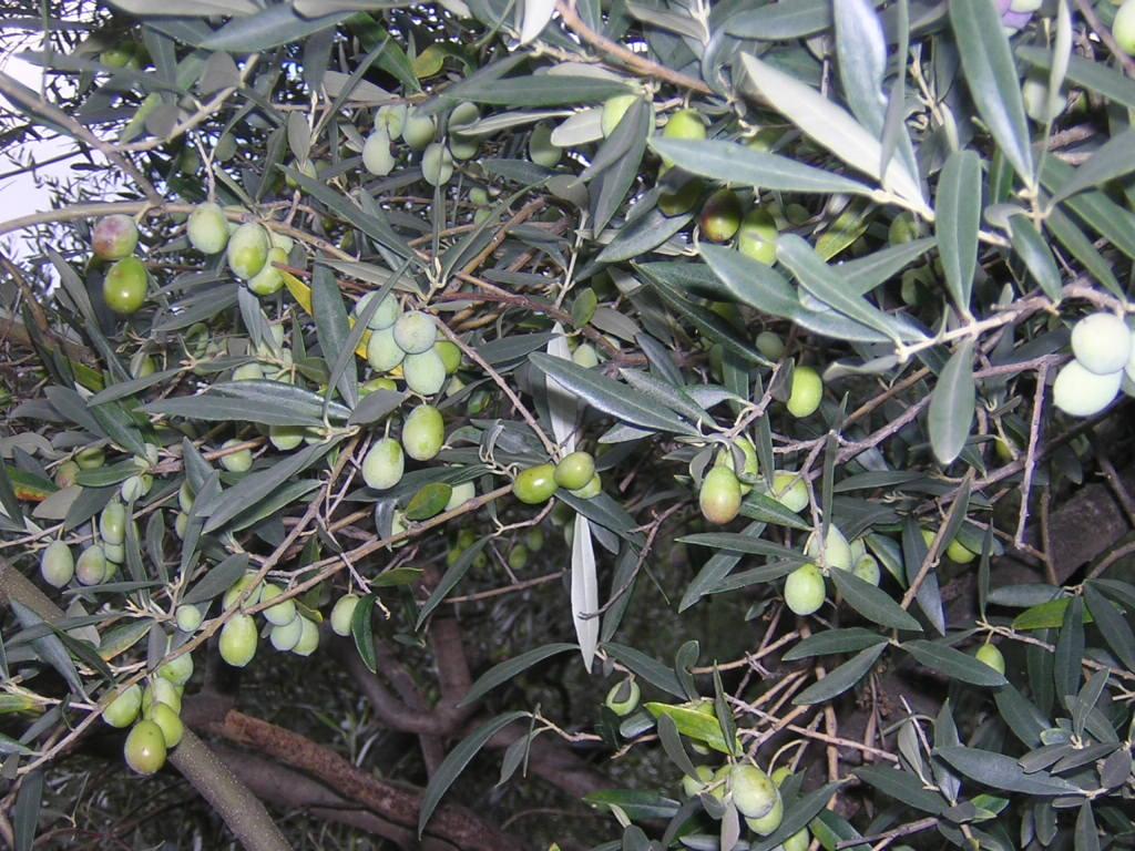 Bivongi; Produzione dell'olio