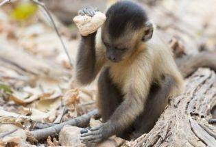考古证据显示,巴西卷尾猴已进入了它们的石器时代
