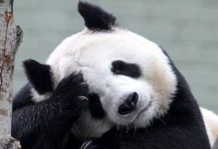 中国大熊猫:爱丁堡动物园没钱了 熊猫阳光和甜甜明年或被迫回国