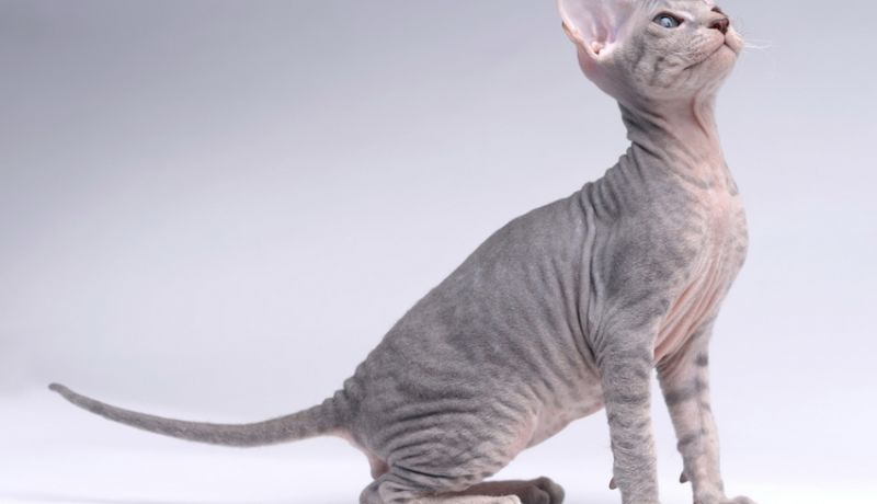 Le Peterbald