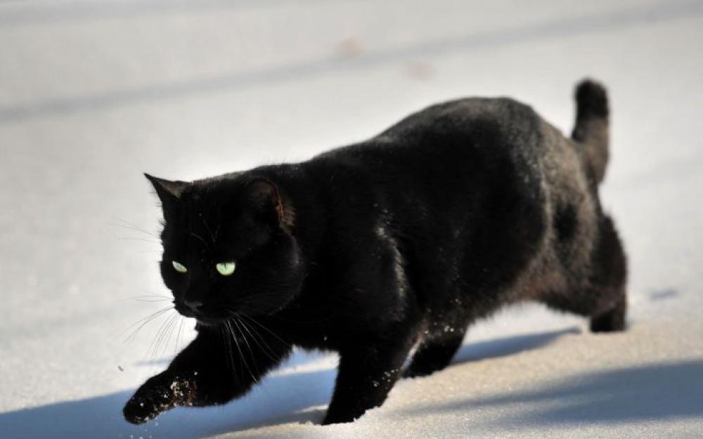 chat_noir_le_parisien