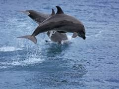 Dolphin Watching (Seasonal April – October of every year) from Trio Queen Travel & Tours