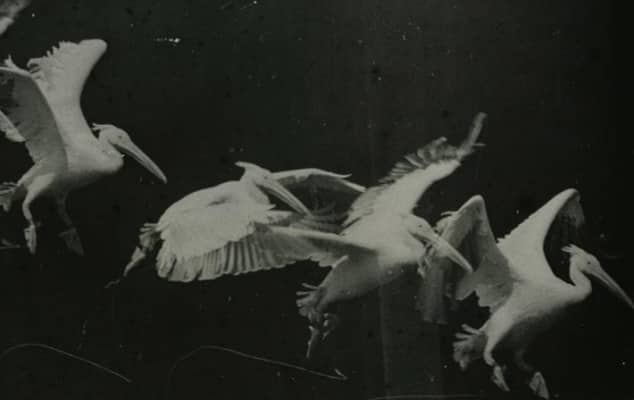 'Flying pelican' Etienne-Jules Marey (1882) chronophotograph. Gill Brown PhD project.