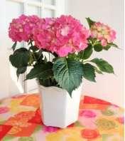 Classic Hydrangea Planter
