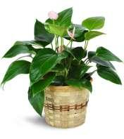 Pink Anthurium Plant in a Basket