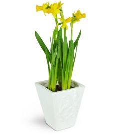 Delightful Daffodils