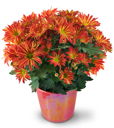 Blooming Chrysanthemum