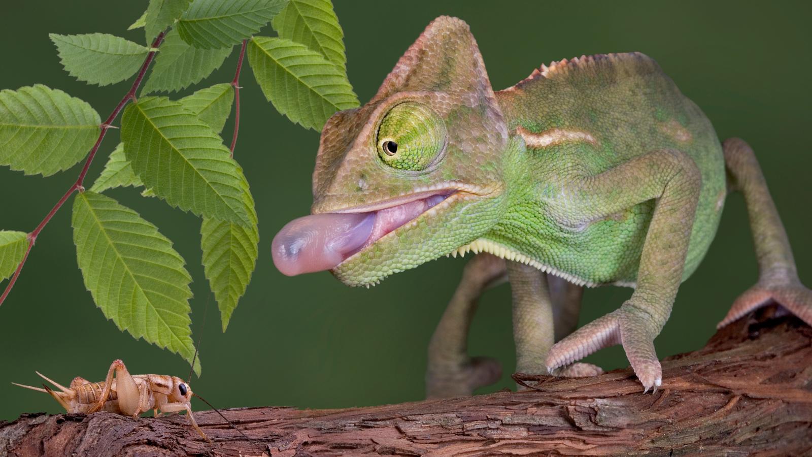 Chameleons | Reptiles | Animals | Eden Channel