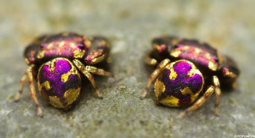 Jewel-like spiders