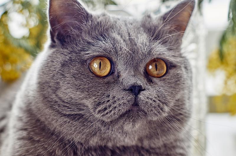 grey tabby kittens for sale scotland