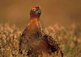 The infamous grouse