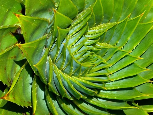 Planta Aloe Vera.