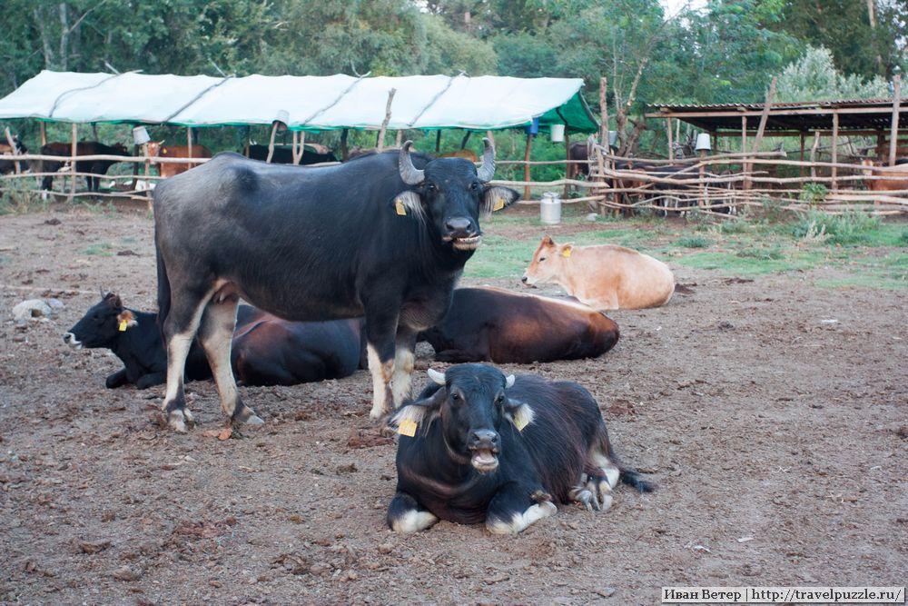 Кахетинские коровы