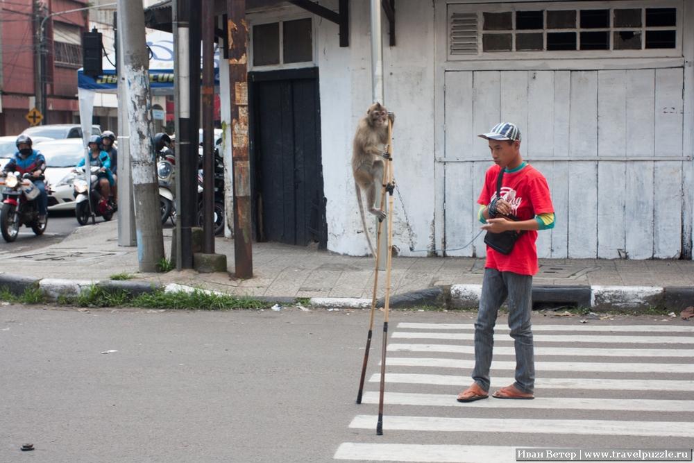 Мартышка на ходулях на Яве