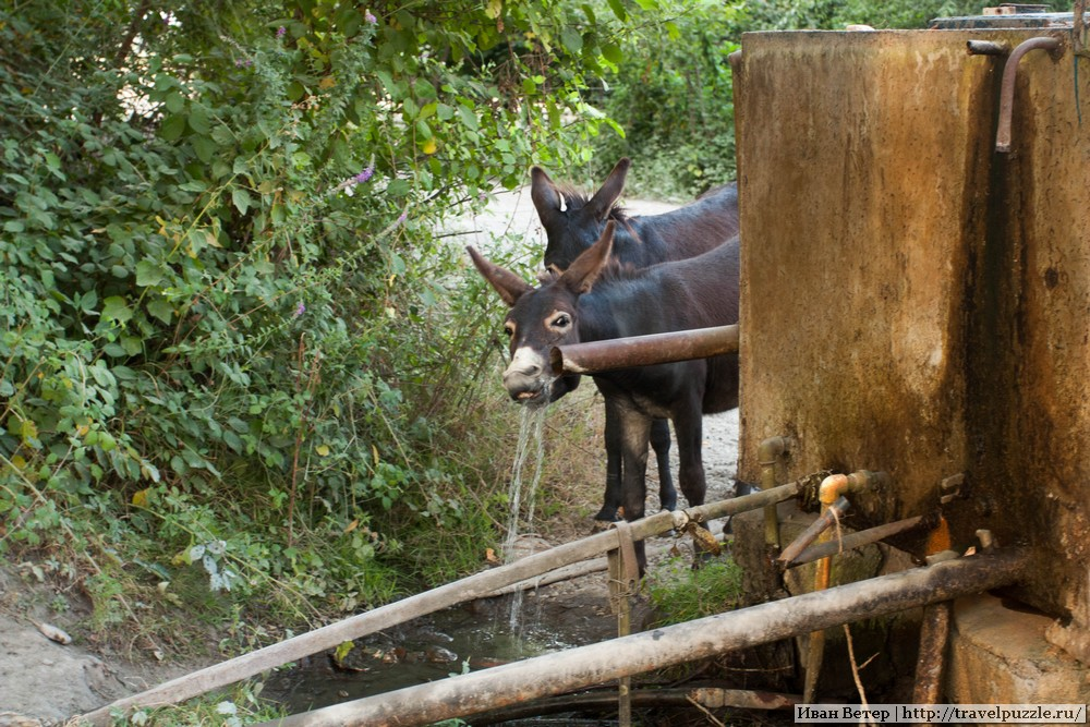 Водопой осликов